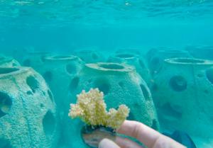 Caribbean elkhorn coral plug