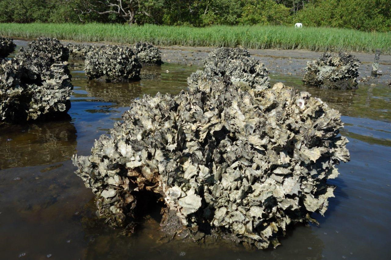 Natural Oyster Reef Image Gallery - Reef B...
